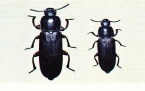 un böceği
