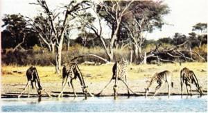 gevişgetiren hayvan zürafa