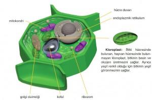 bitki hücresi çizimi ve bölümleri