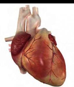 dolaşım sistemi elemanı kalp