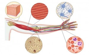 hücreden organa