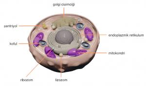 hayvan hücresi çizimi