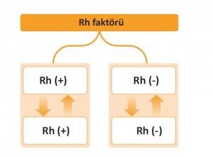 kan grupları rh faktörü