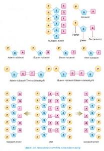 nükleotidler ve DNAda nükleotidlerin dizilişi