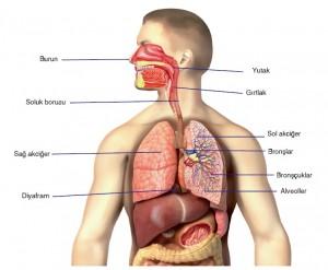 solunum sistemi organları