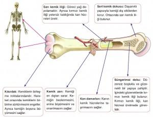 uzun kemik ve yapısı