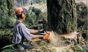 yağmur ormanlarında ağaç kesimi