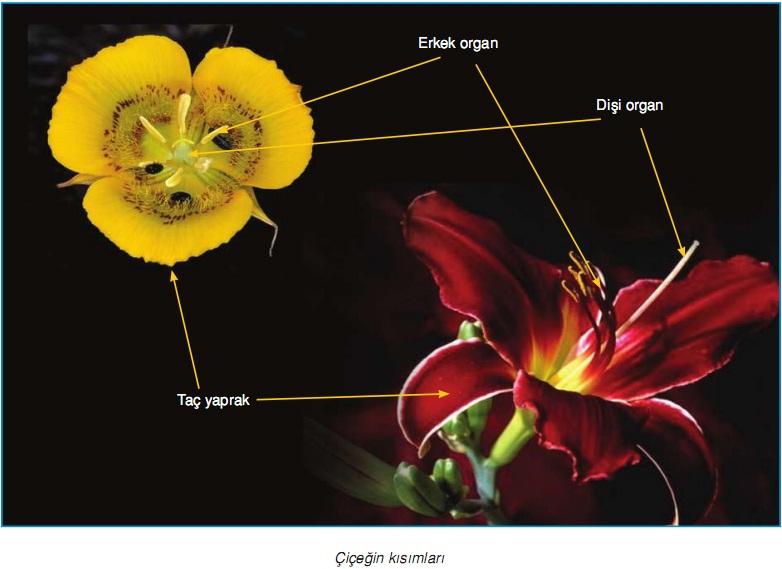 çiçeğin kısımları