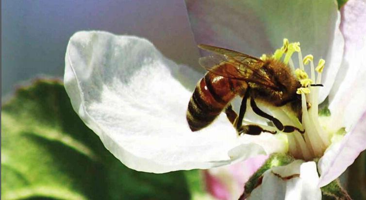 arının tozlama yapması