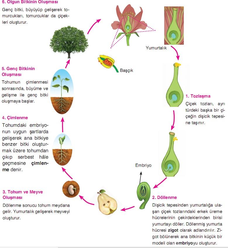bitkilerde büyüme ve gelişme süreçleri