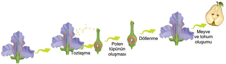 bitkilerde eşeyli üreme süreçleri