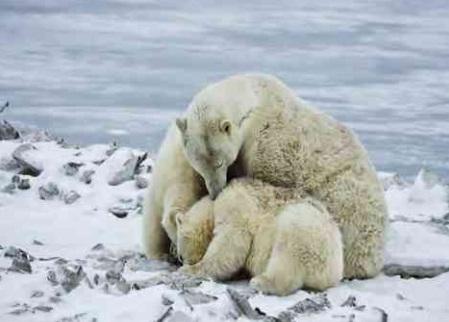 küresel ısınma kutup ayıları