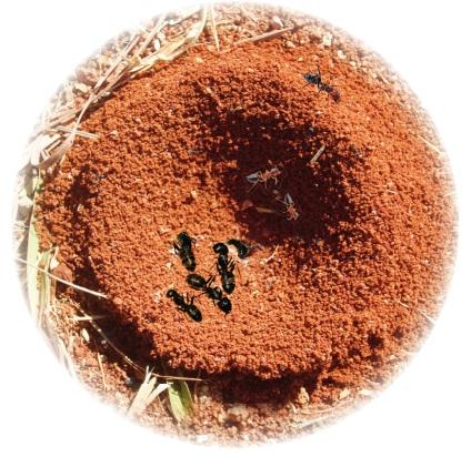 karınca popülasyonu
