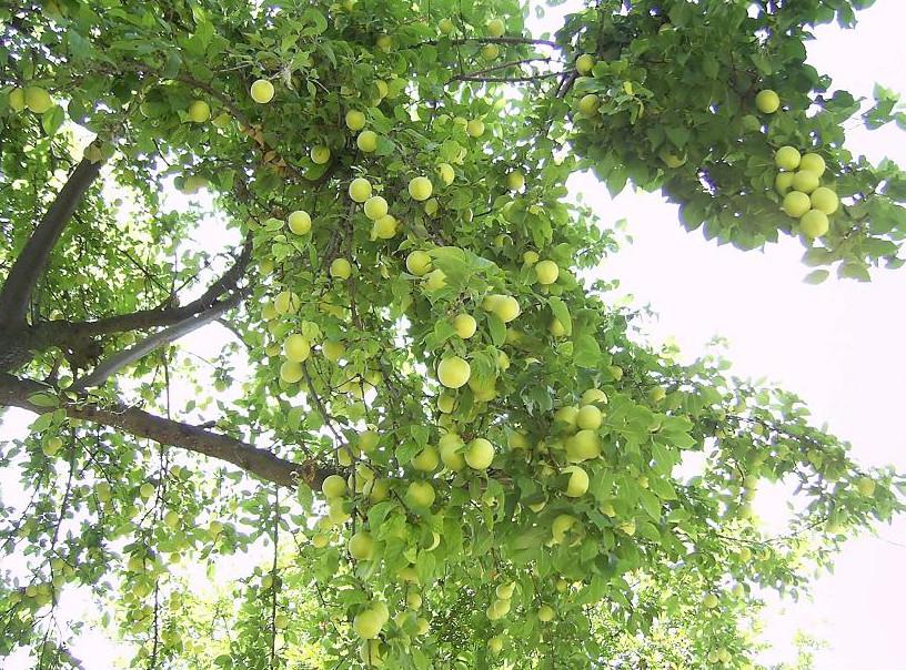 meyve dolu erik dalları