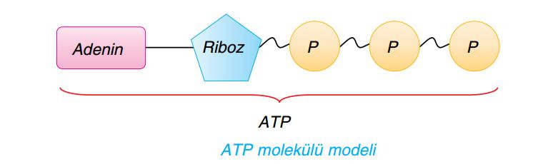 atp molekülü modeli