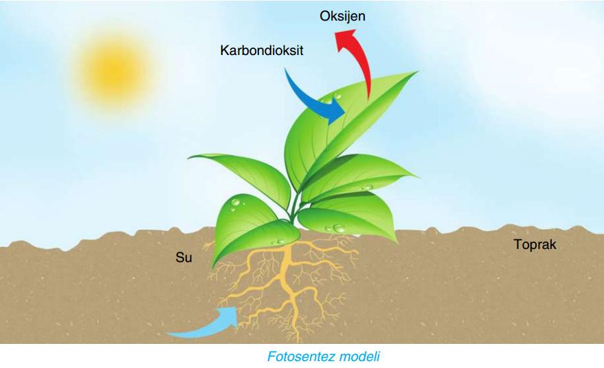 fotosentez modeli