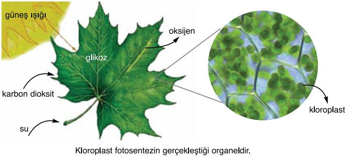 kloroplast fotosentezin gerçekleşmesi